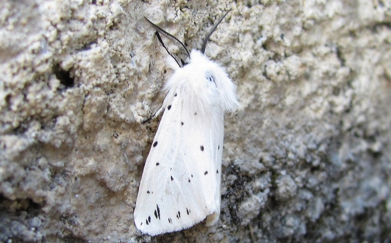 Papillons - Ecaille tigree - Spilosoma Lubricipeda