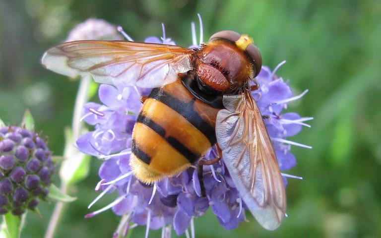 Mouches - Syrphes -  Volucelle zonee  volucella zonaria