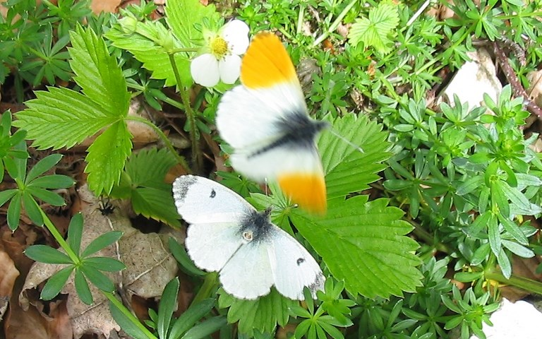 papillons - Aurore - Anthocharis Cardamines