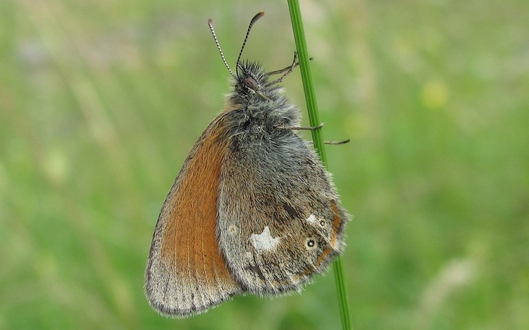Papillons - Céphale - Coenonympha Arcania