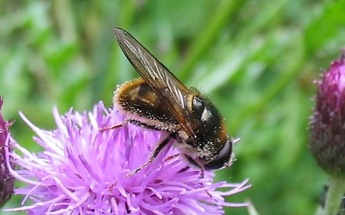 Mouches - Syrphes - Cheilosia sp