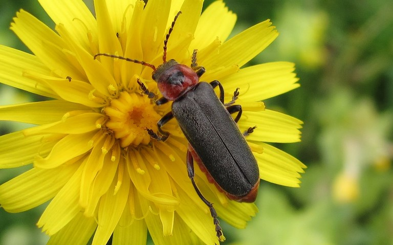 Telephore sombre - Cantharis Fusca