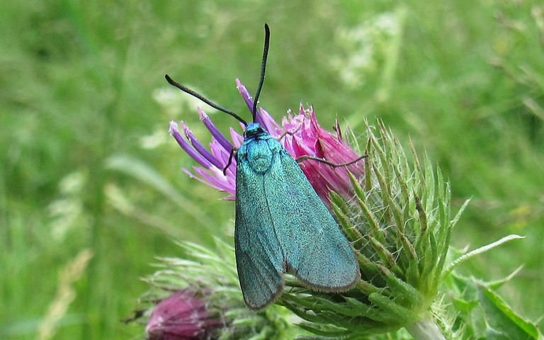 Papillons - Zygenides - Turquoise - Adscita Statices