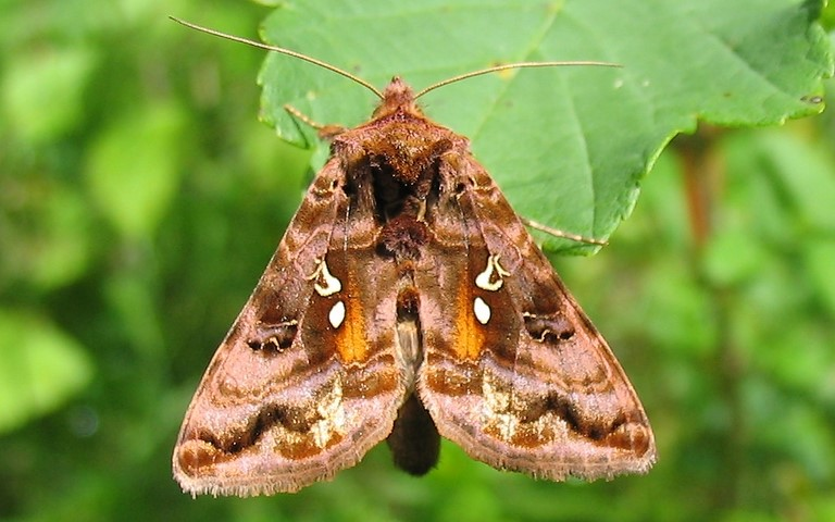 Papillons - V d'or - Autographa Pulchrina
