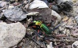 Carabe a reflets cuivres  - Carabus auronitens
